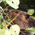 Venez observer les castors et en apprendre d'avantage sur cet animal dans le cadre d'une excursion guidée à l'hôtel Sacacomie.